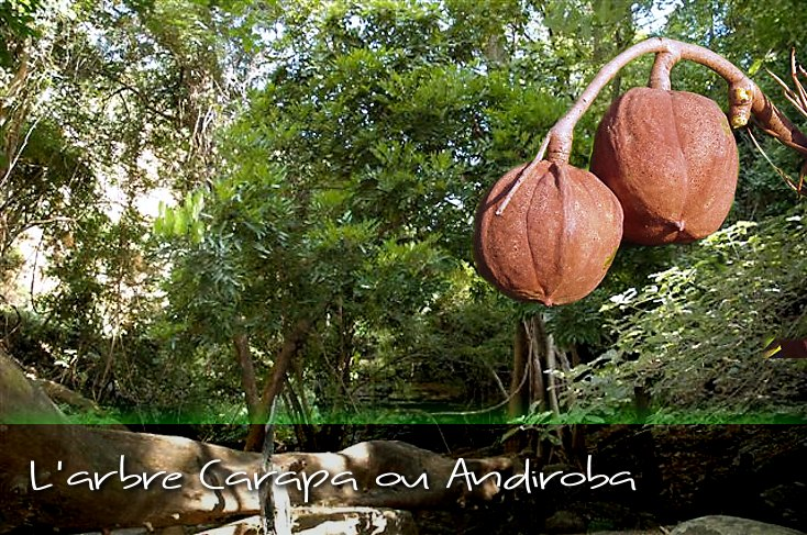 L'arbre ANDIROBA (Carapa)