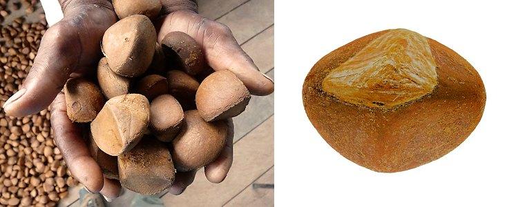 Ovules de la noix d'Andiroba