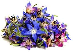 Bouquet de fleurs de bourrache