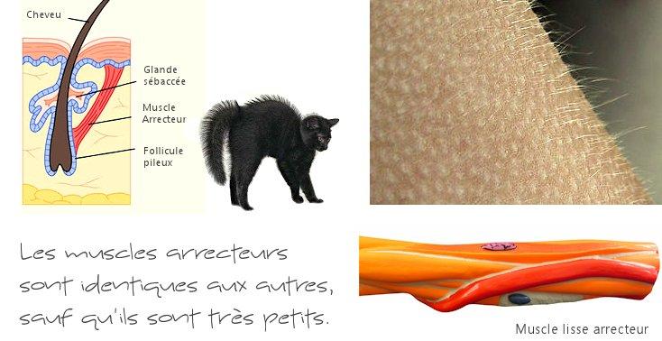 Le muscle arrecteur (horripilateur) du cheveu