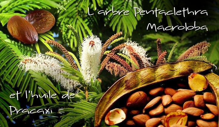 L'arbre Pentaclethra Macroloba et l'huile de Pracaxi